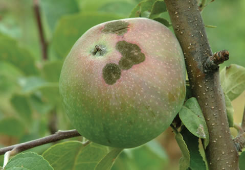 Scab lesions on an apple.