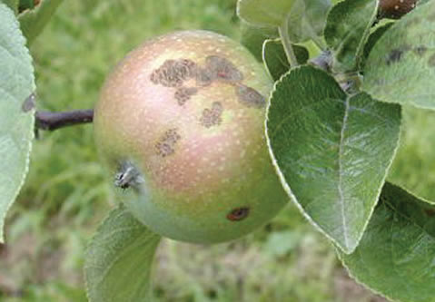 Old, cracked scab lesions on an apple.