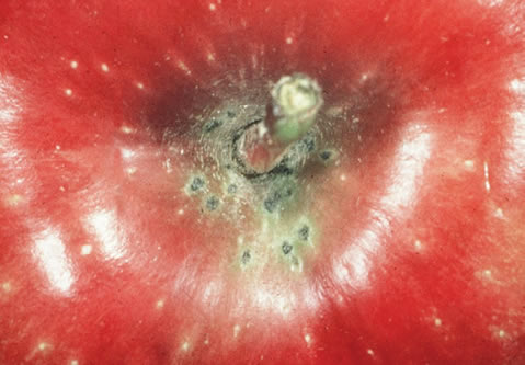 Small, dark, circular lesions on an apple.