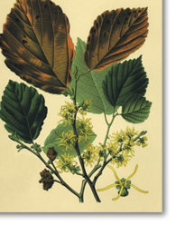 Hamamelis virginiana L. (Witch Hazel)