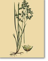 Hierochloe odorata (L.) (Beauv. Foin d'odeur)