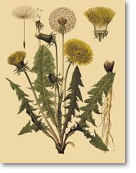 Image d'une Taraxacum spp. (Pissenlit)