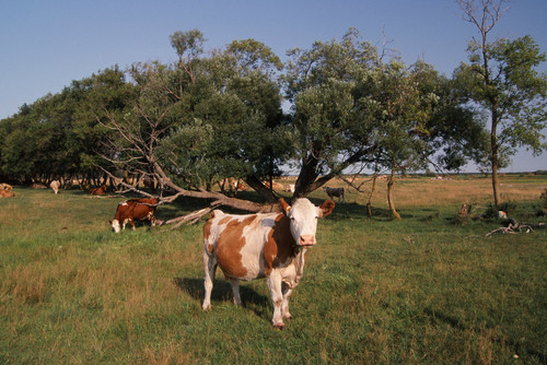 Decorative picture of cattle