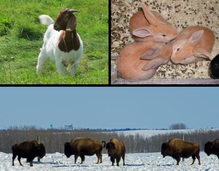 Image décorative d'une chèvre, de lapins et de bisons